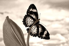 motyl sepiowy Zdjęcia Royalty Free