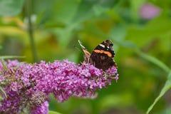 Motyl siedzi na bzie obraz stock