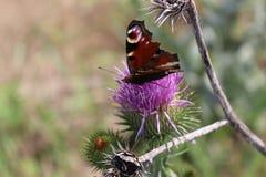 Motyl siedzi na osetu kwiacie zdjęcia royalty free