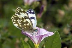 Motyl siedział na kwiacie filmował 02 2017 Lipa Fotografia Stock