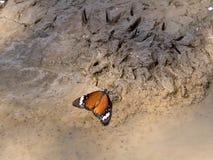 Motyl ssa błoto wodę w gemsbok parku narodowym, Kalahari Południowa Afryka Obraz Stock