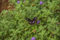 Motyl szuka jego kwiat zdjęcia royalty free