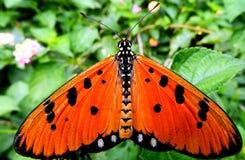Motyl - Tawny Costas Acraea violae Obraz Royalty Free