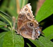 motyl tropikalny Fotografia Stock