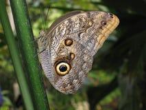motyl tropikalny Zdjęcie Royalty Free