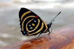 Motyl umieszczał na poręczu Iguazu spadki w Misiones, Argentyna zdjęcie stock