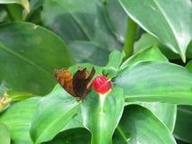 Motyl umieszczający na liściu Obrazy Royalty Free