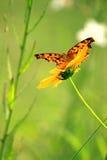 Motyl uskrzydla latać Fotografia Royalty Free