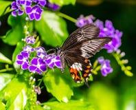 Motyl w akci przy Montreal ogródem botanicznym Obraz Royalty Free