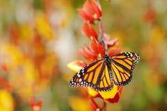 Motyl w pomarańczowych kwiatach Monarcha, Danaus plexippus, motyl w natury siedlisku Ładny insekt od Meksyk Motyl w gre Zdjęcia Stock