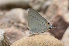 Motyl w Thailand Zdjęcia Royalty Free