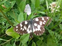 Motyl w trawie Zdjęcie Royalty Free