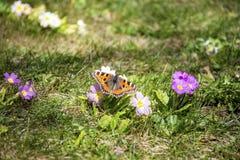 Motyl w wiosna ogródzie Zdjęcie Stock