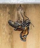 motyl wyłaniający się monarcha niedawno Zdjęcia Royalty Free