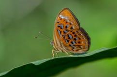 Motyl wymieniający Lesser arlekin Obraz Royalty Free
