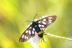 Motyl z czernią uskrzydla na zielonej roślinie Dostrzegający ćma lub kolor żółty popędzaliśmy krwiściąg Amata Syntomis phegea, ro Zdjęcia Stock