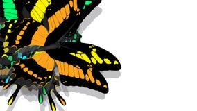 Motyl z czerni skrzydłami, pomarańcze wzory ilustracji