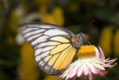 Motyl z naturalnym tłem Zdjęcia Stock