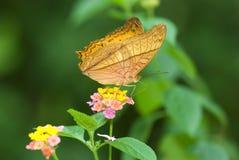 Motyl z naturalnym tłem Zdjęcia Royalty Free
