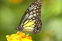 Motyl z naturalnym tłem Obrazy Royalty Free