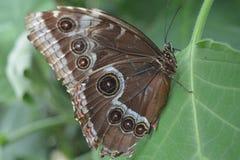 Motyl z oczami na swój skrzydłach Fotografia Royalty Free