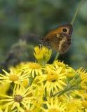 motyl złoty Zdjęcia Stock