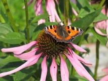 Motyl z pomarańcze uskrzydla na kwiacie - Aglais urticae Obraz Royalty Free