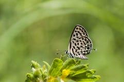 Motyl zamknięty Łaciasty pierrot up zdjęcie royalty free