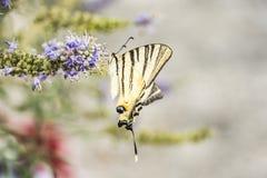 Motyl zamknięty up na kwiacie Fotografia Stock