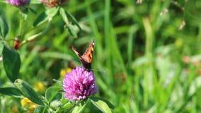 Motyl zbiera nektar od koniczyny w łące Kwiaty i trawy kołysanie w ciepłym lecie meandrują zbiory wideo