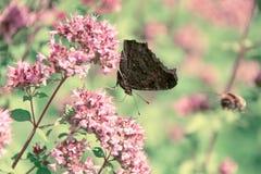 Motyl zbiera nektar od kwiat mennicy Zdjęcie Royalty Free