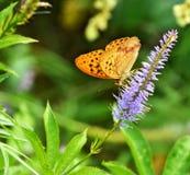 Motyl zbiera nektar od kwiatu zdjęcia stock