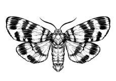 Motyla, ćma nakreślenie/ Szczegółowy realistyczny nakreślenie motyl Zdjęcia Stock