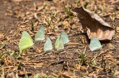 Motyla bielu zieleni grupowy kolor żółty na liściach Obrazy Stock