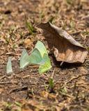 Motyla bielu zieleni grupowy kolor żółty na liściach Fotografia Stock