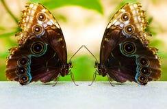 motyla bliźniak Zdjęcie Royalty Free