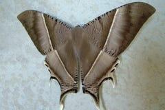 Motyla brąz obrazy royalty free