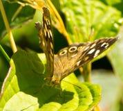 Motyla Cętkowany drewno Zdjęcie Royalty Free
