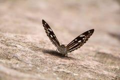 Motyla frontowy zbliżenie obrazy stock