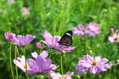 Motyla i kosmosu kwiat Zdjęcie Royalty Free