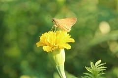 Motyla i nagietka kwiat Zdjęcia Royalty Free
