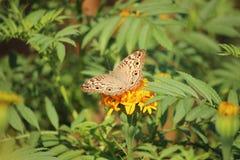 Motyla i nagietka kwiat Zdjęcie Royalty Free