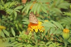 Motyla i nagietka kwiat Obrazy Royalty Free