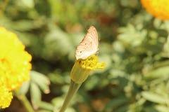 Motyla i nagietka kwiat Obrazy Stock