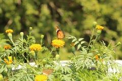 Motyla i nagietka kwiat Obraz Stock