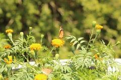 Motyla i nagietka kwiat Fotografia Royalty Free