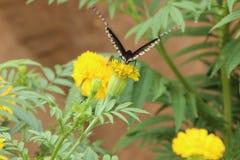 Motyla i nagietka kwiat Zdjęcia Stock
