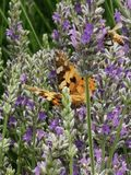 Motyla i pszczoły karmienie od lawendy obraz stock