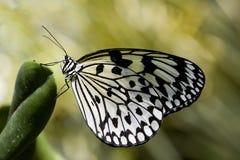motyla iv papierowi ryż Fotografia Royalty Free