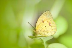 motyla kwiat Obraz Royalty Free